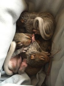 Baby Squirrels in Harford County